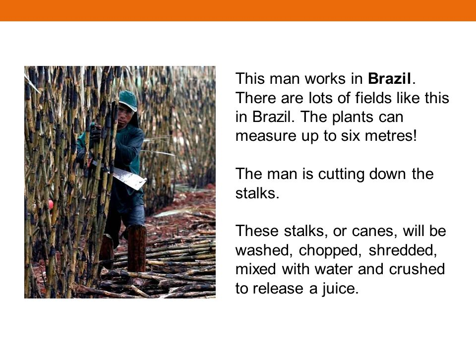 This man works in Brazil. There are lots of fields like this in Brazil. The plants can measure up to six metres! The man is cutting down the stalks. T
