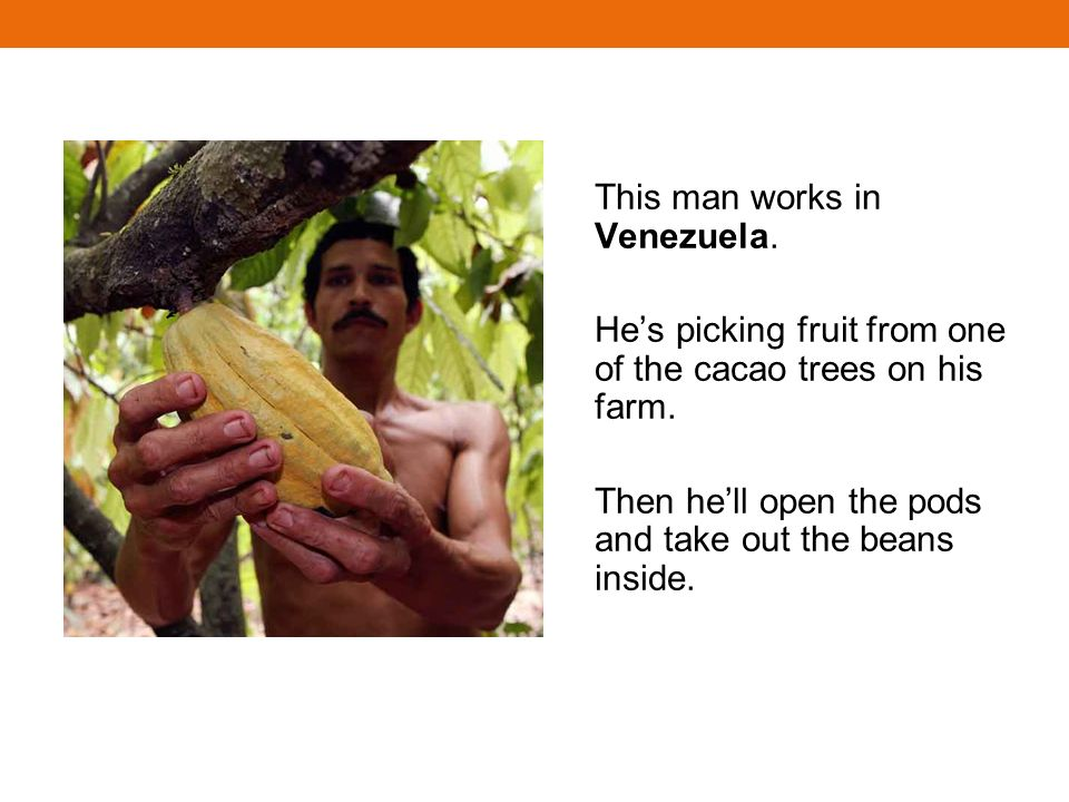 This man works in Venezuela. Hes picking fruit from one of the cacao trees on his farm. Then hell open the pods and take out the beans inside.