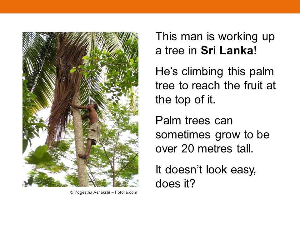 This man is working up a tree in Sri Lanka! Hes climbing this palm tree to reach the fruit at the top of it. Palm trees can sometimes grow to be over