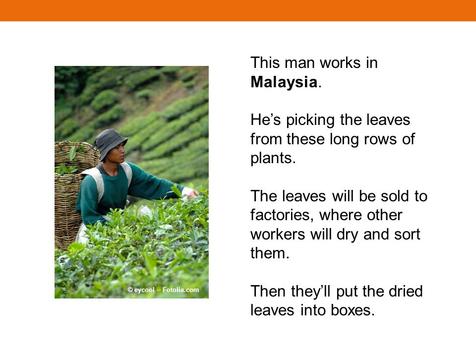 This man works in Malaysia. Hes picking the leaves from these long rows of plants. The leaves will be sold to factories, where other workers will dry