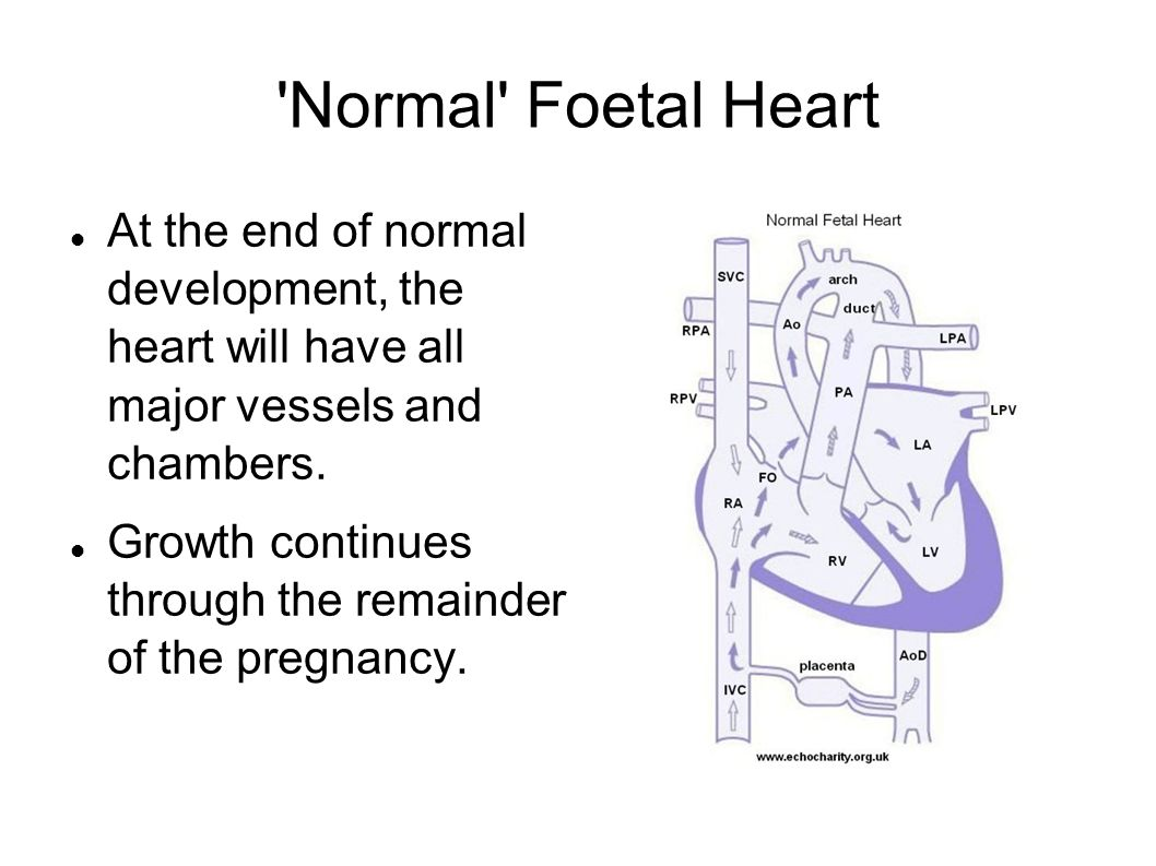'Normal' Foetal Heart At the end of normal development, the heart will have all major vessels and chambers. Growth continues through the remainder of