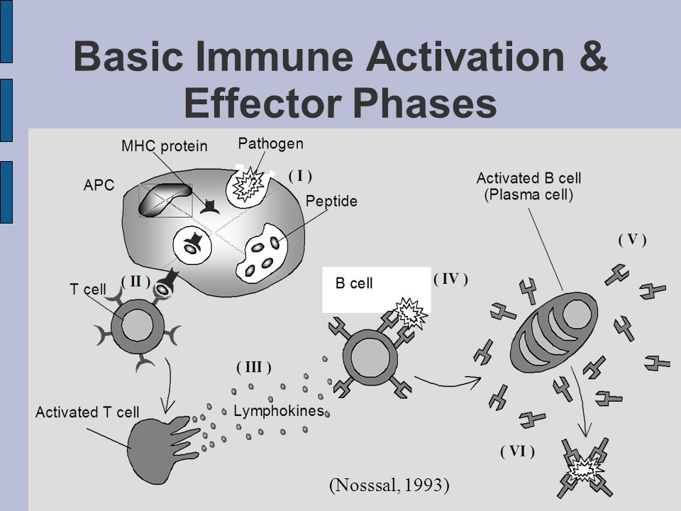 Basic Immune Activation & Effector Phases (Nosssal, 1993)