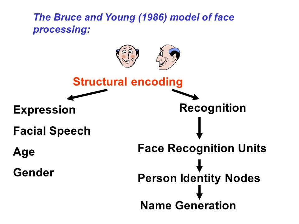 The Bruce and Young (1986) model of face processing: Structural encoding Face Recognition Units Person Identity Nodes Name Generation Expression Facia