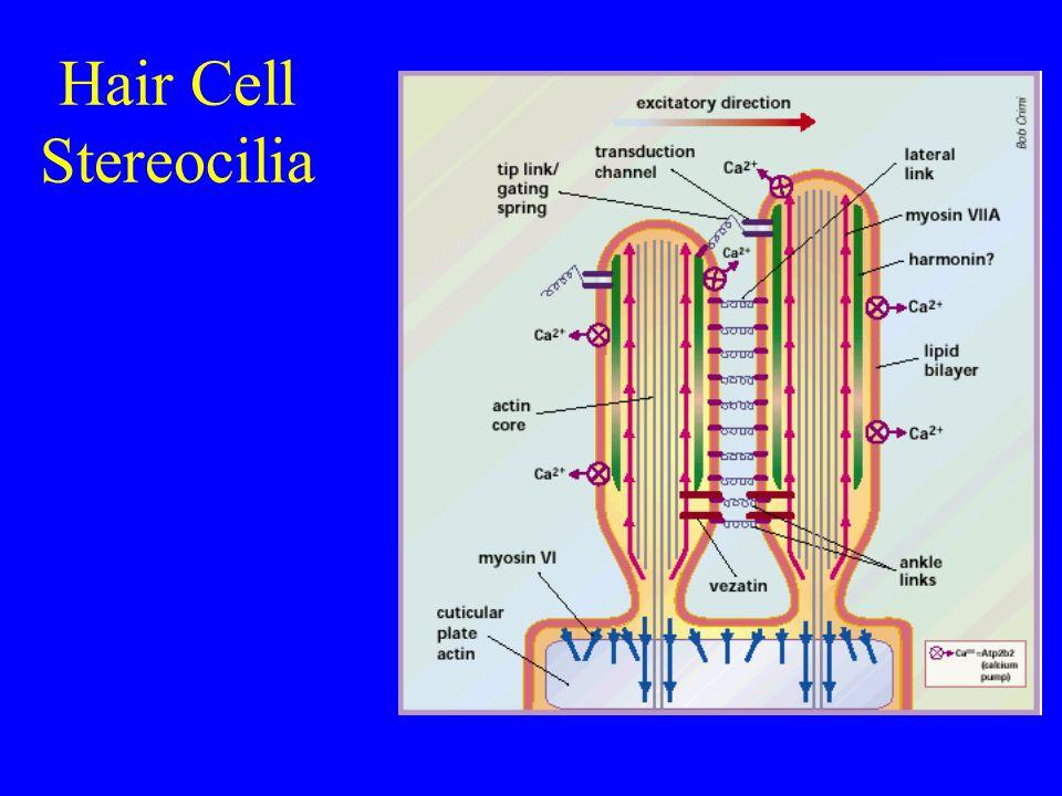 Inner hair cell