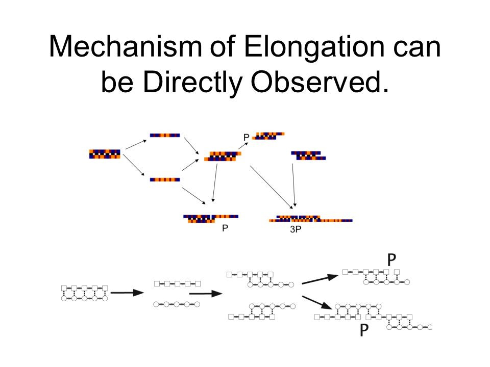 Mechanism of Elongation can be Directly Observed.