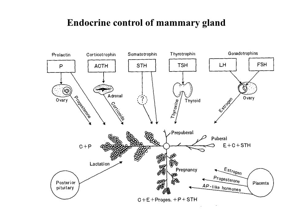 Endocrine control of mammary gland