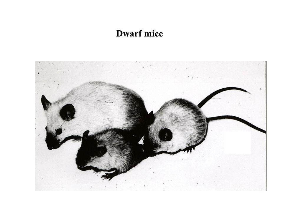 Dwarf mice