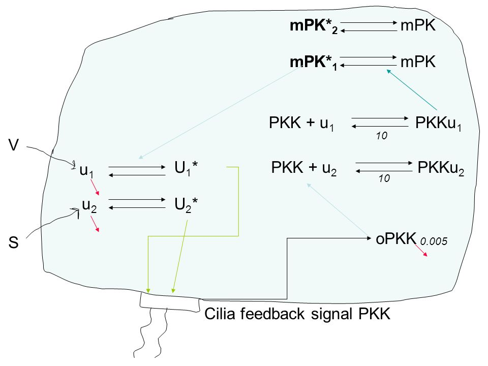 u1u1 u2u2 U2*U2* U1*U1* oPKK mPK* 2 mPK mPK* 1 mPK PKK + u 1 PKKu 1 PKK + u 2 PKKu 2 10 0.005 Cilia feedback signal PKK V S
