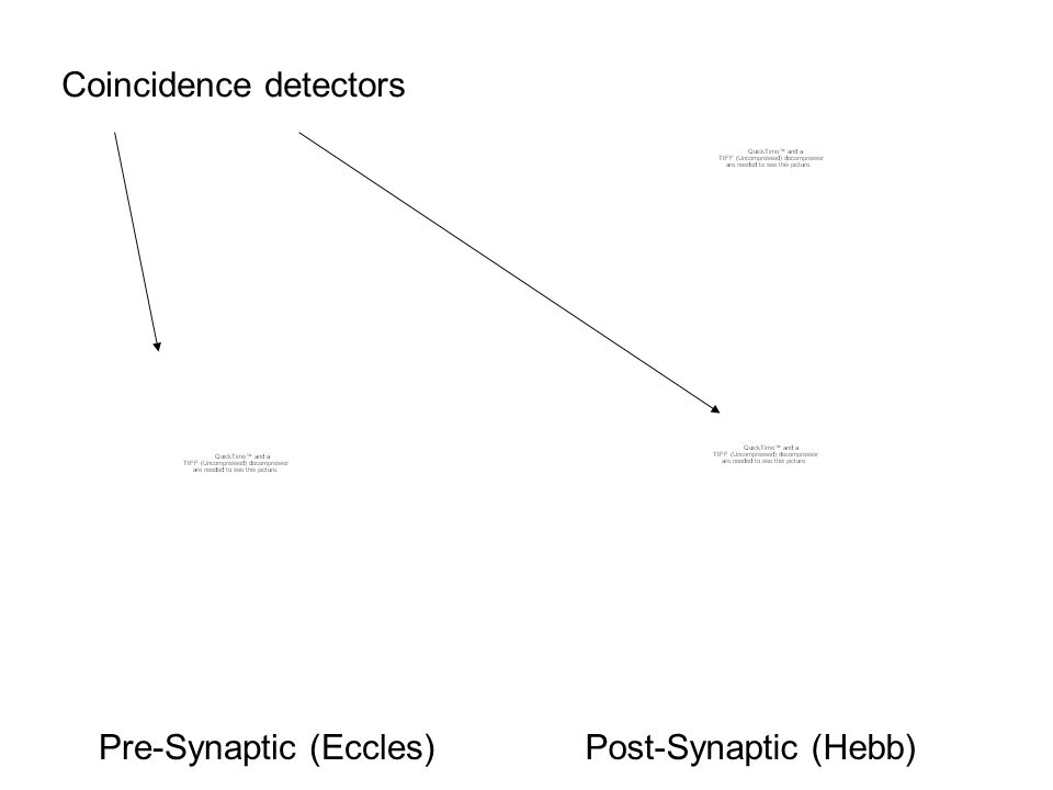 Pre-Synaptic (Eccles)Post-Synaptic (Hebb) Coincidence detectors