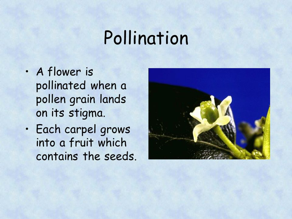 Fertilisation Pollen grains germinate on the stigma, growing down the style to reach an ovule.