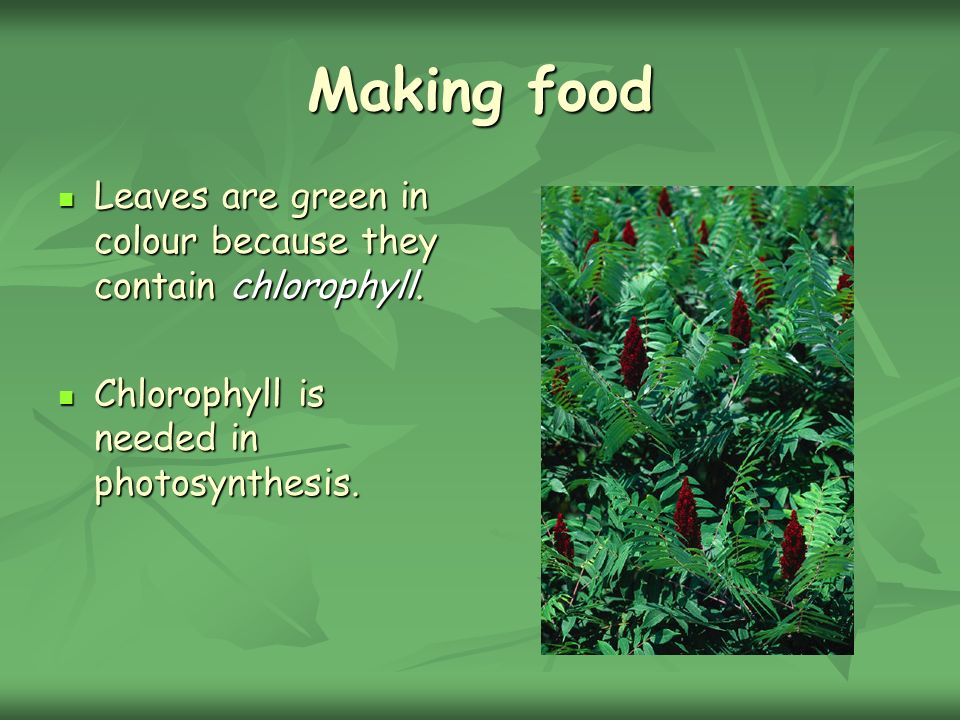 Making food Leaves are green in colour because they contain chlorophyll. Leaves are green in colour because they contain chlorophyll. Chlorophyll is n