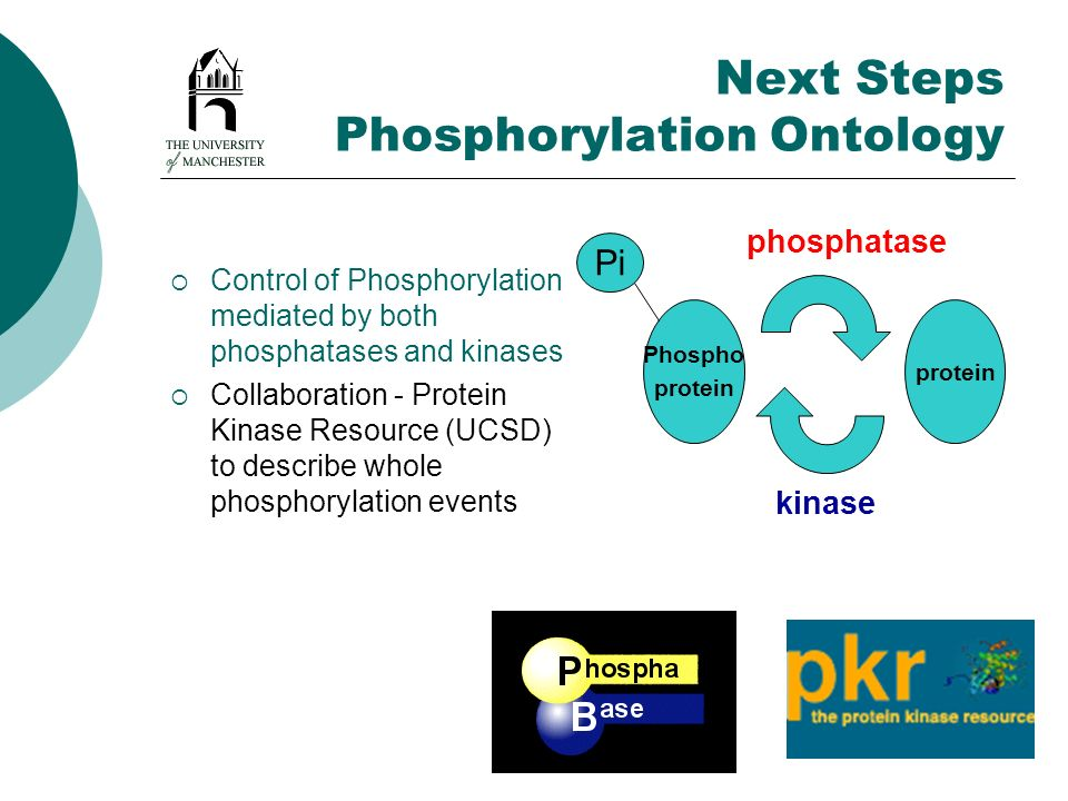 Next Steps Phosphorylation Ontology Control of Phosphorylation mediated by both phosphatases and kinases Collaboration - Protein Kinase Resource (UCSD