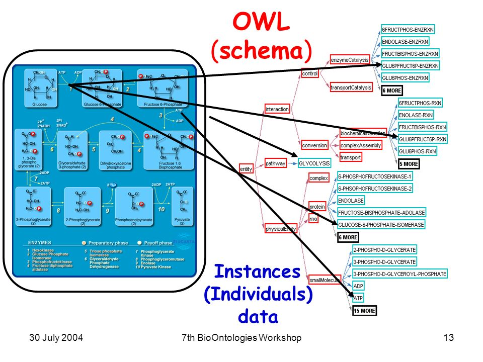 30 July 20047th BioOntologies Workshop13 OWL (schema) Instances (Individuals) data