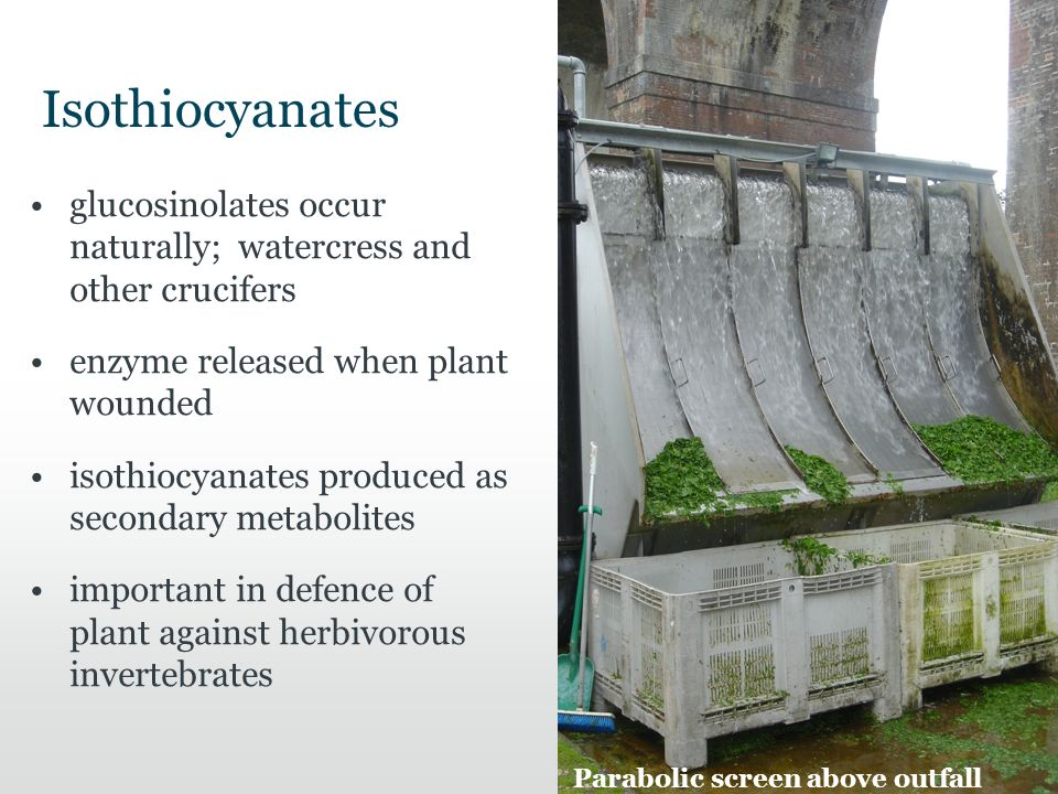 Isothiocyanates glucosinolates occur naturally; watercress and other crucifers enzyme released when plant wounded isothiocyanates produced as secondary metabolites important in defence of plant against herbivorous invertebrates Parabolic screen above outfall