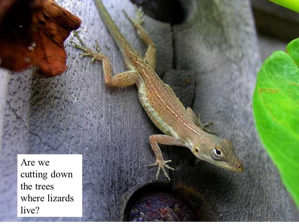 Are we cutting down the trees where lizards live?