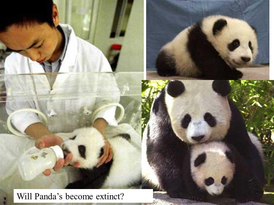 Will Pandas become extinct?