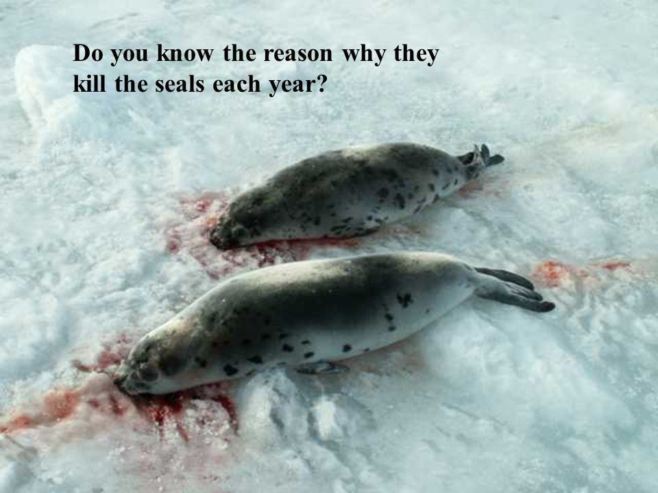 Do you know the reason why they kill the seals each year?