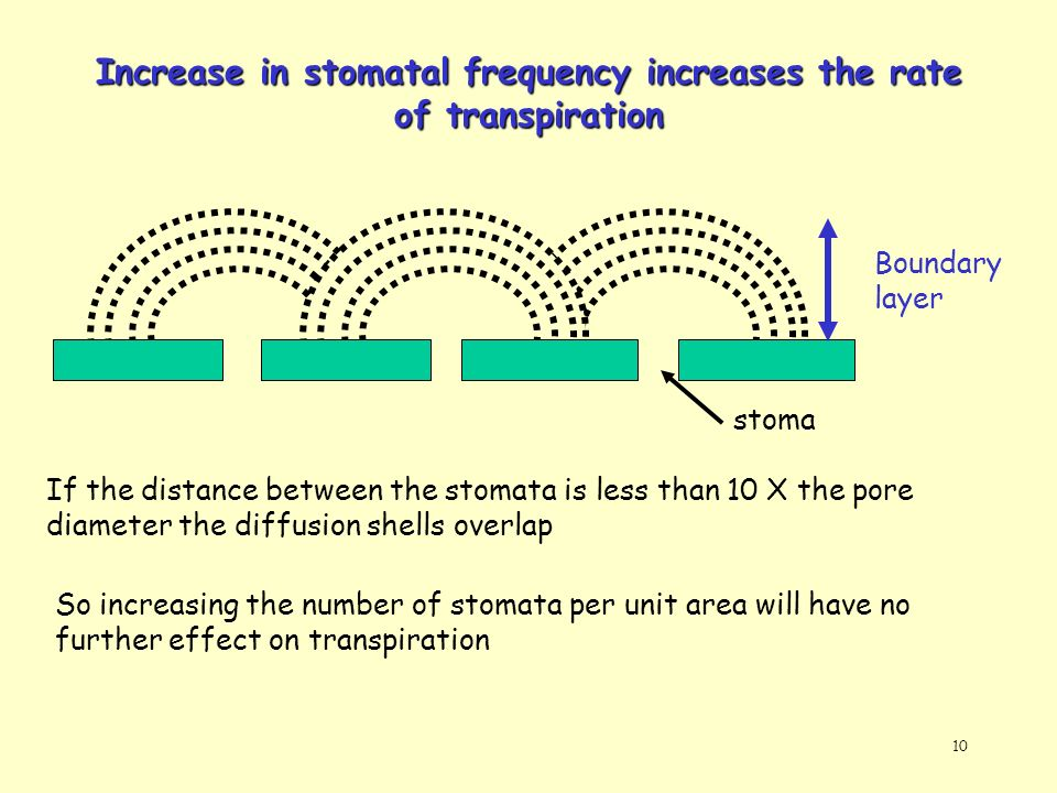 10 Increase in stomatal frequency increases the rate of transpiration Boundary layer If the distance between the stomata is less than 10 X the pore di