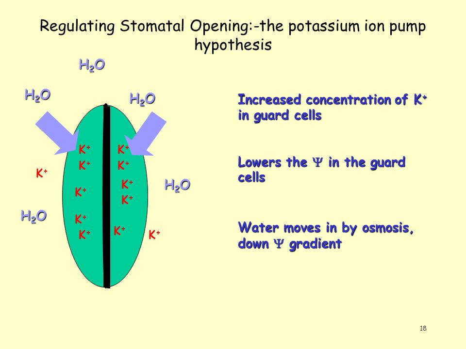 18 Regulating Stomatal Opening:-the potassium ion pump hypothesis K+K+ K+K+ K+K+ K+K+ K+K+ K+K+ K+K+ K+K+ K+K+ K+K+ K+K+ K+K+ Increased concentration