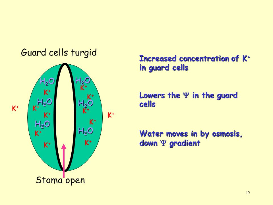19 Stoma open Guard cells turgid K+K+ K+K+ K+K+ K+K+ K+K+ K+K+ K+K+ K+K+ K+K+ K+K+ K+K+ K+K+ Increased concentration of K + in guard cells Lowers the
