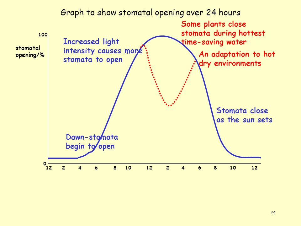 24 Graph to show stomatal opening over 24 hours 122468101224681012 stomatal opening/% 0 100 Dawn-stomata begin to open Increased light intensity cause