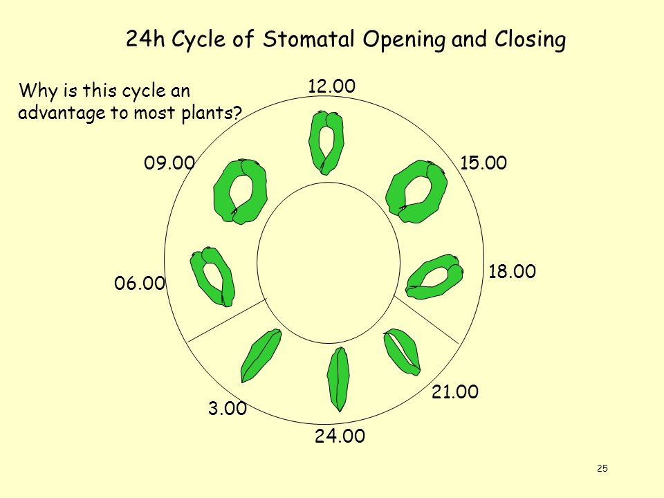 25 18.00 12.00 15.00 21.00 24.00 3.00 06.00 09.00 24h Cycle of Stomatal Opening and Closing Why is this cycle an advantage to most plants?