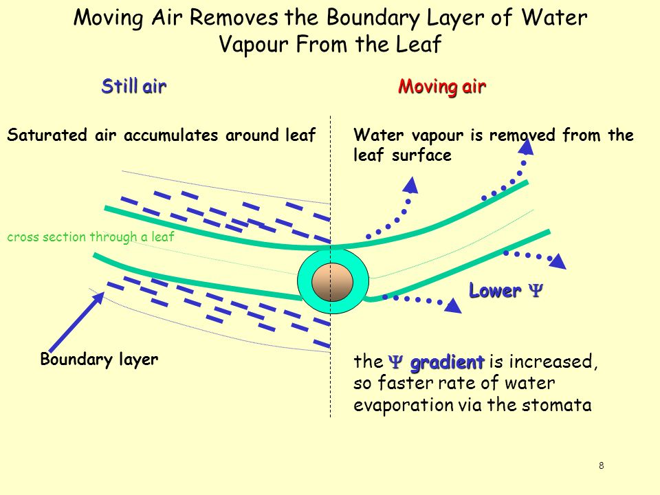 8 Moving Air Removes the Boundary Layer of Water Vapour From the Leaf Boundary layer Saturated air accumulates around leaf Still air Moving air Lower