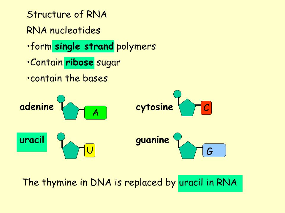 Structure of RNA RNA nucleotides contain the bases adenine uracil cytosine guanine C G UA The thymine in DNA is replaced by uracil in RNA form single