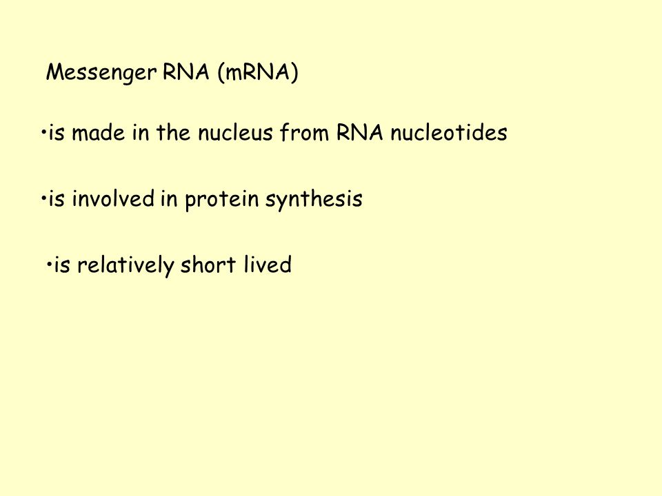 Messenger RNA (mRNA) is made in the nucleus from RNA nucleotides is involved in protein synthesis is relatively short lived