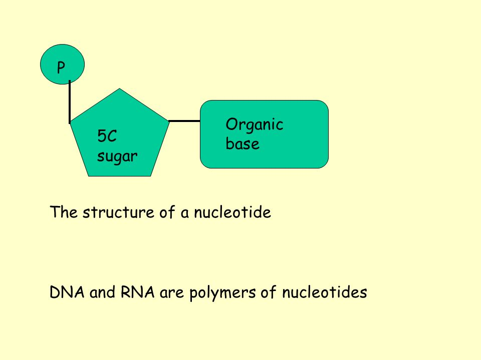 5C sugar The structure of a nucleotide P Organic base DNA and RNA are polymers of nucleotides