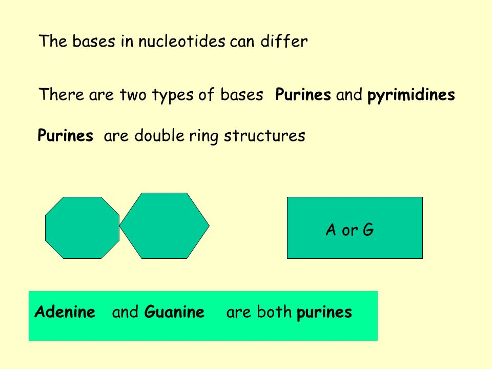 There are two types of bases Purines are double ring structures Adenine andGuanineare both purines The bases in nucleotides can differ A or G Purines