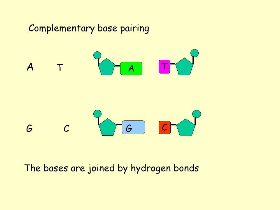 Complementary base pairing A T GC A G TC The bases are joined by hydrogen bonds