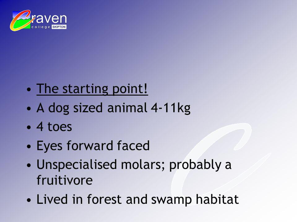 The starting point! A dog sized animal 4-11kg 4 toes Eyes forward faced Unspecialised molars; probably a fruitivore Lived in forest and swamp habitat