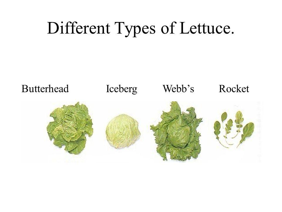 Different Types of Lettuce. ButterheadIcebergWebbsRocket