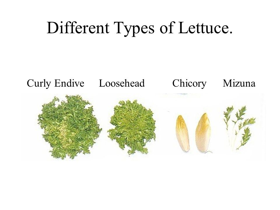 Different Types of Lettuce. Curly Endive Loosehead ChicoryMizuna