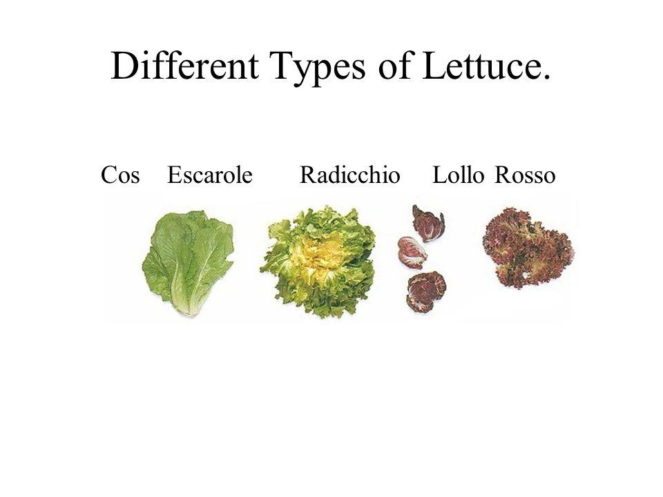 Different Types of Lettuce. CosEscaroleRadicchioLollo Rosso