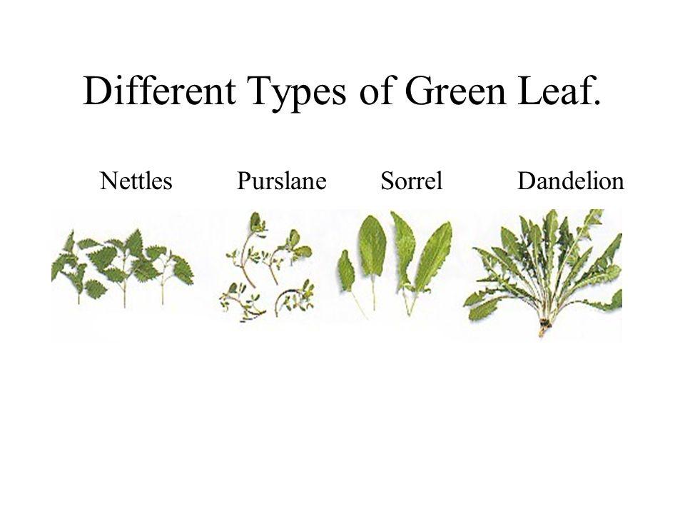 Different Types of Green Leaf. NettlesPurslane Sorrel Dandelion