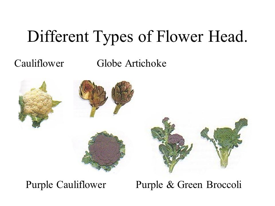Different Types of Flower Head. CauliflowerGlobe Artichoke Purple CauliflowerPurple & Green Broccoli