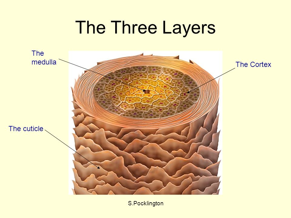 S.Pocklington The Three Layers The cuticle The Cortex The medulla
