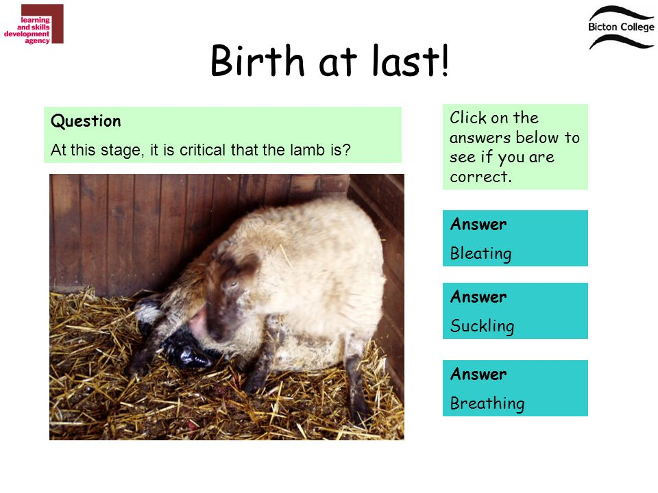 Birth at last. Question At this stage, it is critical that the lamb is.
