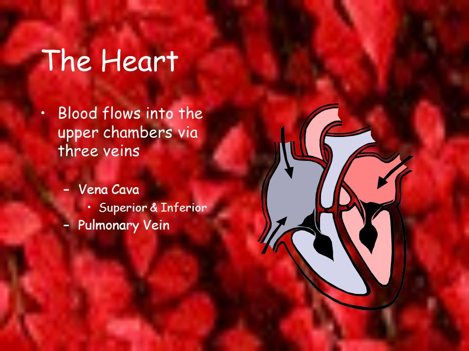 The Heart Blood flows into the upper chambers via three veins –Vena Cava Superior & Inferior –Pulmonary Vein