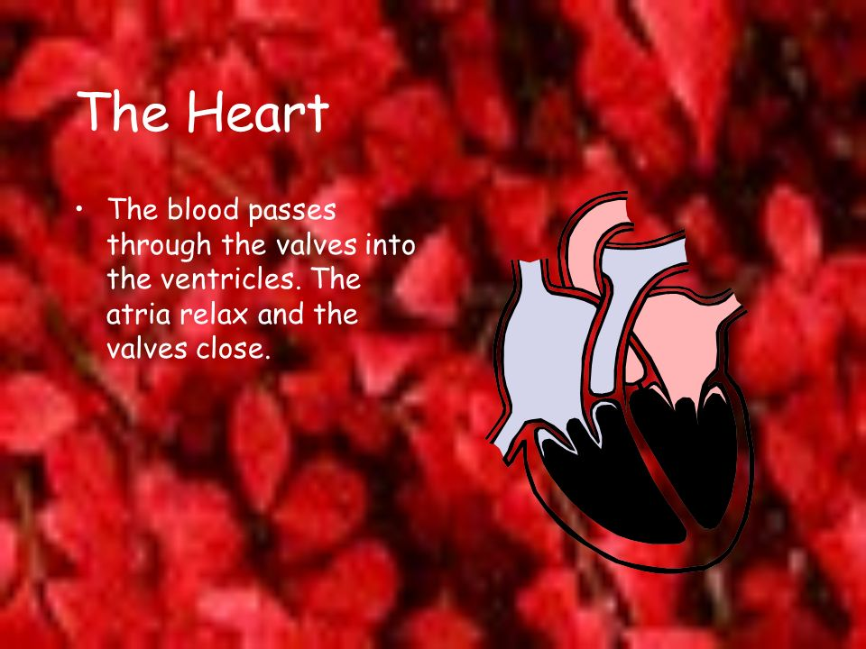 The Heart The blood passes through the valves into the ventricles. The atria relax and the valves close.