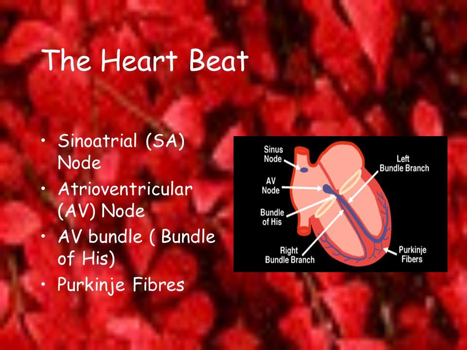 The Heart Beat Sinoatrial (SA) Node Atrioventricular (AV) Node AV bundle ( Bundle of His) Purkinje Fibres