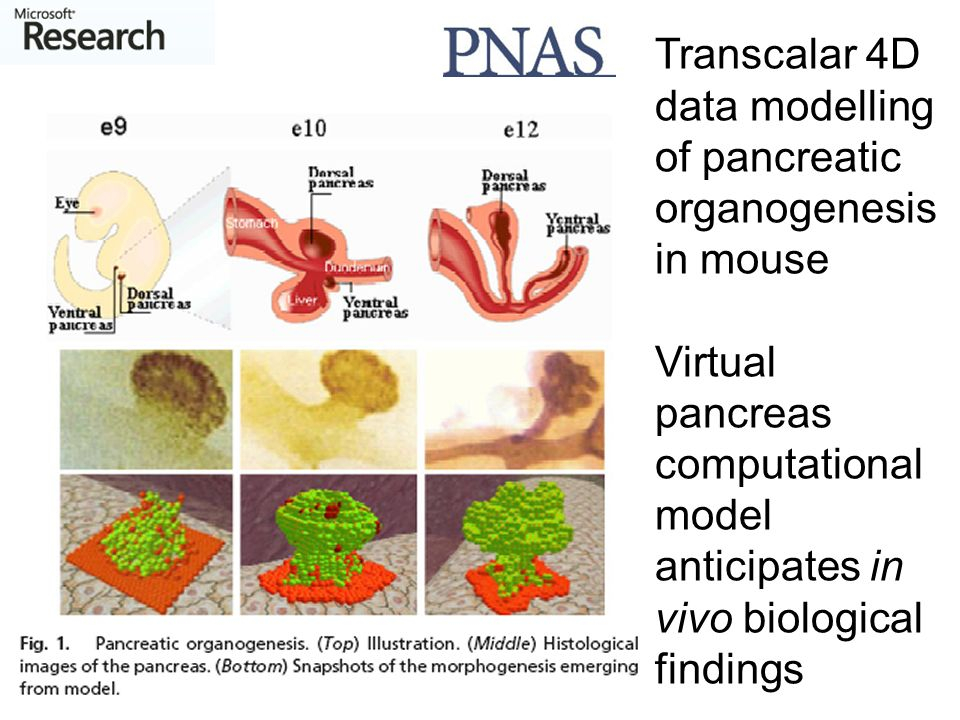 Transcalar 4D data modelling of pancreatic organogenesis in mouse Virtual pancreas computational model anticipates in vivo biological findings