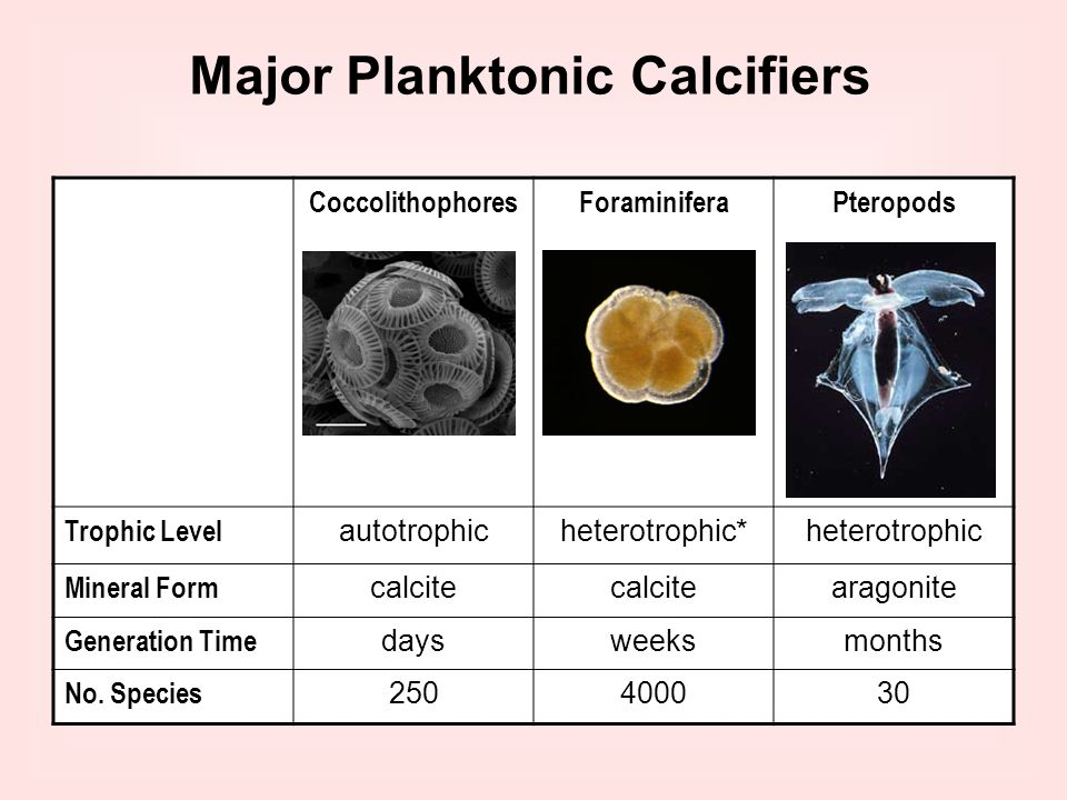 CoccolithophoresForaminiferaPteropods Trophic Level autotrophicheterotrophic*heterotrophic Mineral Form calcite aragonite Generation Time daysweeksmon