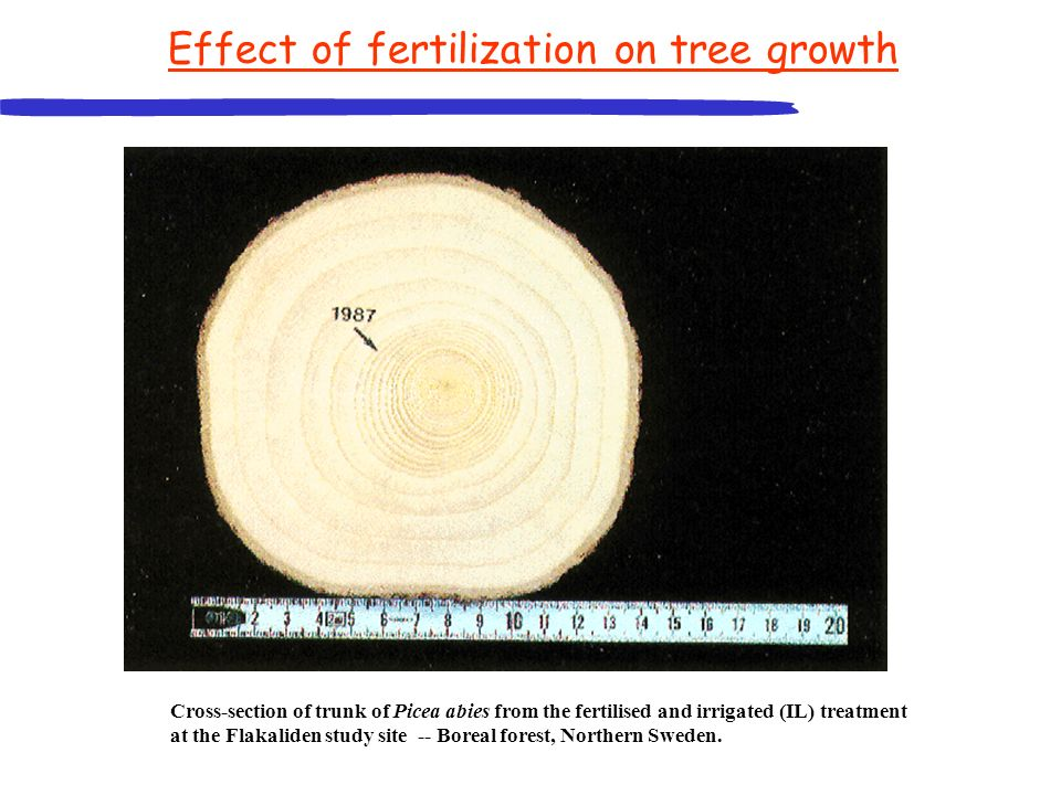 Cross-section of trunk of Picea abies from the fertilised and irrigated (IL) treatment at the Flakaliden study site -- Boreal forest, Northern Sweden.