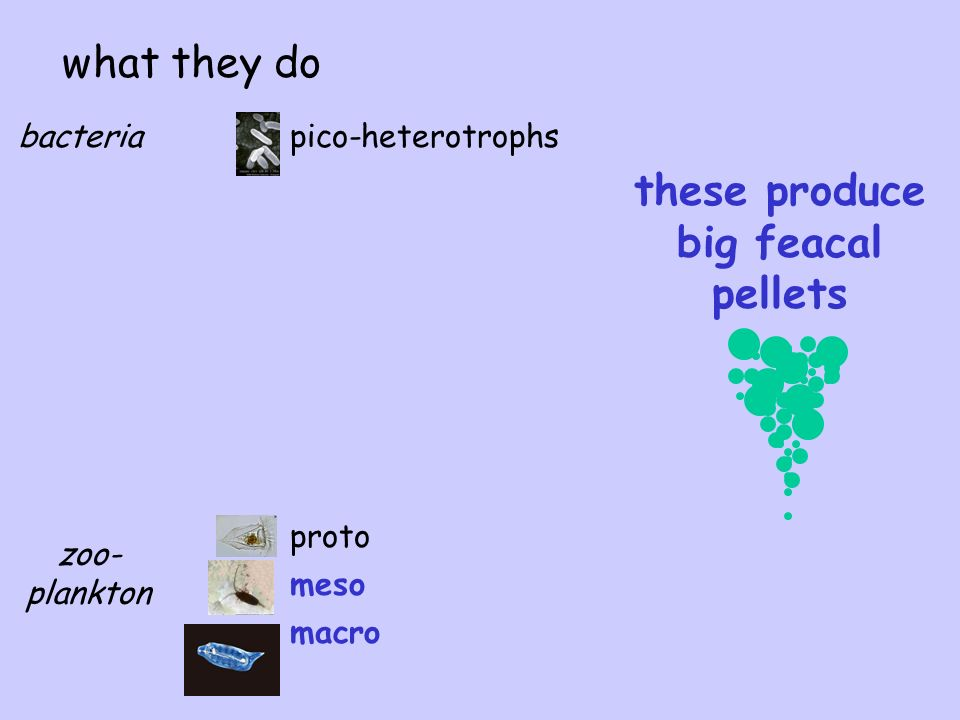 pico-heterotrophsbacteria zoo- plankton proto meso macro what they do these produce big feacal pellets