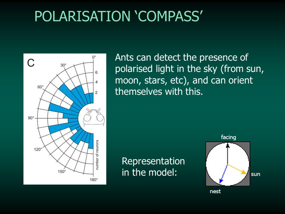 POLARISATION COMPASS Ants can detect the presence of polarised light in the sky (from sun, moon, stars, etc), and can orient themselves with this. Rep