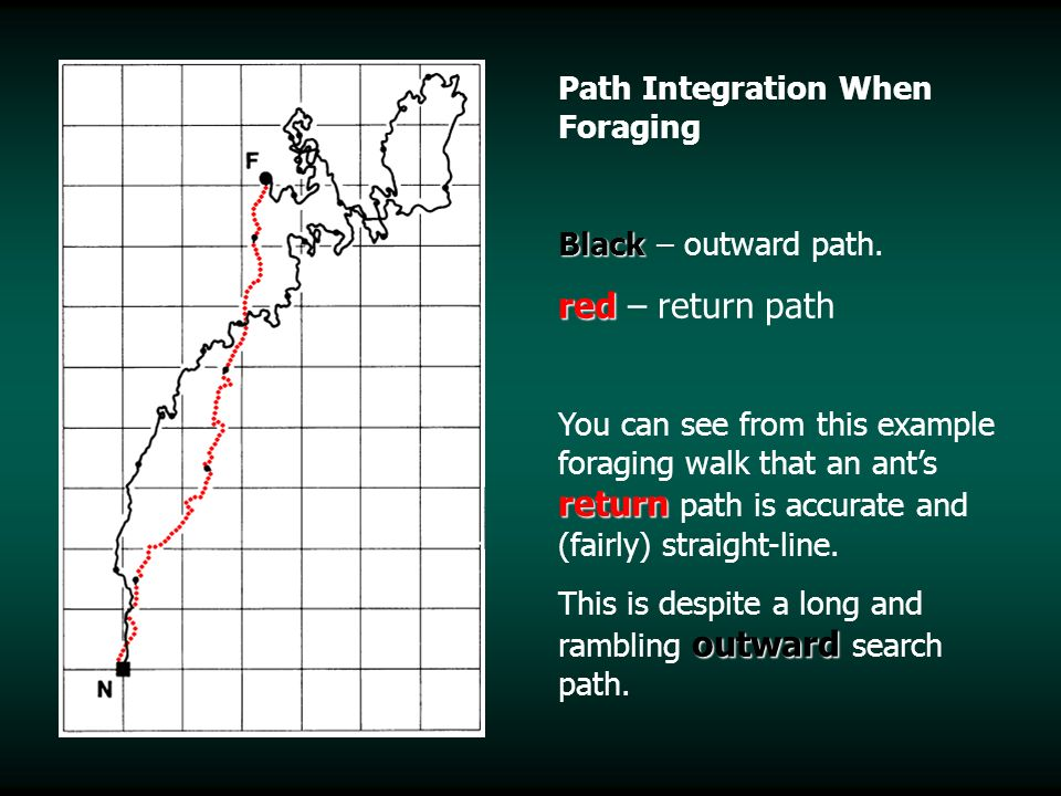 Path Integration When Foraging Black Black – outward path. red red – return path return You can see from this example foraging walk that an ants retur