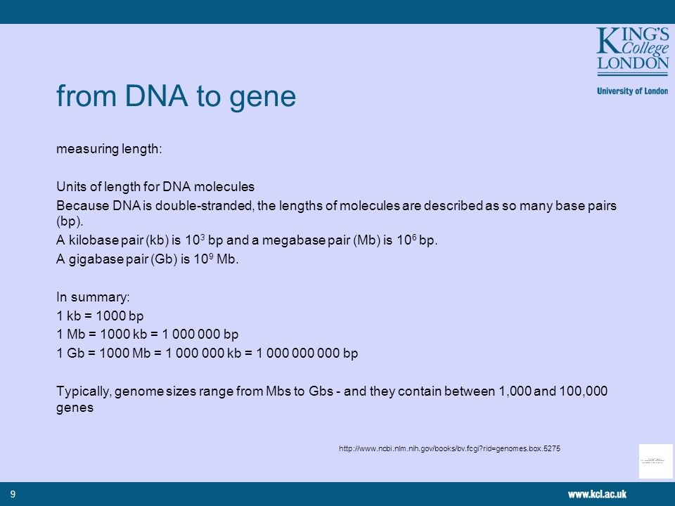 9 from DNA to gene measuring length: Units of length for DNA molecules Because DNA is double-stranded, the lengths of molecules are described as so many base pairs (bp).